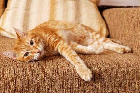 Ginger domestic cat lying on her side on the sofa. Shallow focus.