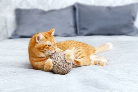 Orange cat playing with a ball of yarn lying on the bed. Shallow focus, blurred background. Reklamní fotografie