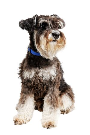 Portrait of dog breed Zwergschnauzer isolated on white.
