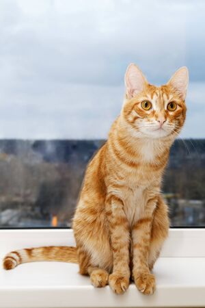 Closeup photo of domestic ginger cat sitting on a windowsill and looking inside the room
