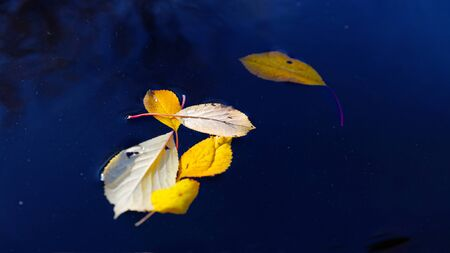 Fallen yellow autumn foliage on the surface of a pond. Shallow focus. Autumn nature background with copyspace.