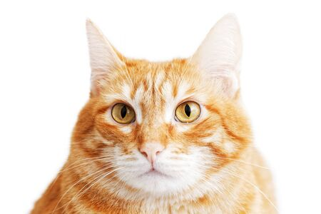 Closeup portrait of a red cat looking warily straight ahead. Isolated on white. Stock fotó