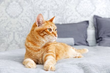 Closeup portrait of ginger cat lying on a bed and looking away against blurred background.
