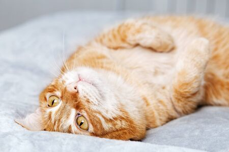 Red cat lies on the bed on the back, folding the front paws on the chest. Shallow focus.