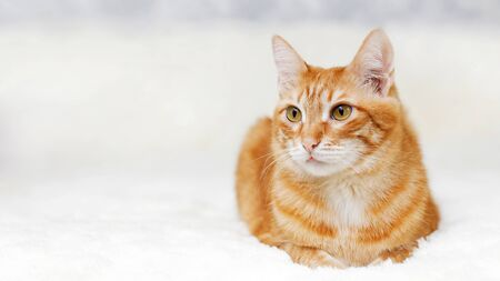 Closeup portrait of orange cat lying on a bed against white blurred background. Shallow focus. Copy space. 写真素材