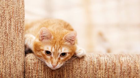 Red cat lies on the couch and carefully looks down. Shallow focus. Copyspace.