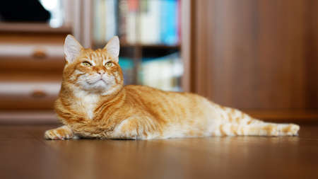 Closeup portrait of a red cat lying on a wooden floor and looking to the side on a blurred background. Shallow focus.