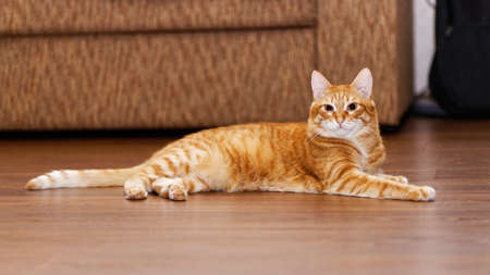 Portrait of a red cat lying on a wooden floor on a blurred background. Shallow focus.