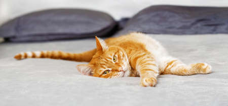 Portrait of domestic red cat lying on the bed. Shallow focus.