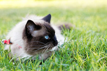Blue-eyed Ragdoll cat lies in the grass and looks to the side. Shallow focus. 免版税图像