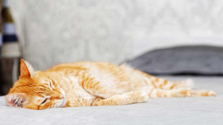 Portrait of ginger cat lying on a bed stretching his paws and looking thoughtfully aside. Shallow focus and blurred background. Copyspace.