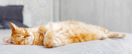 Portrait of red cat lying on the bed and dozes. Shallow focus. Archivio Fotografico