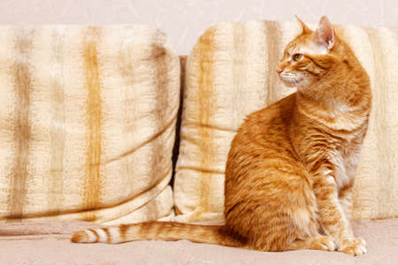 Domestic ginger cat sits on the couch in the room and looks away. Shallow focus. Copyspace. Archivio Fotografico