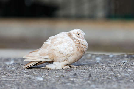 Beige dove on the asphalt against blurred background. Shallow focus. 스톡 콘텐츠