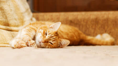 Portrait of ginger cat lies on the couch and dozes. Shallow focus.