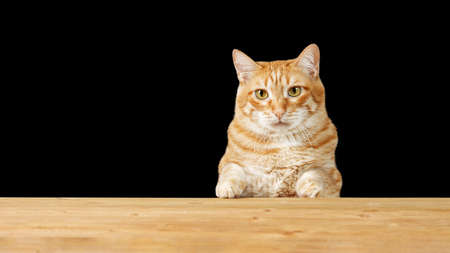 Ginger cat sitting at a empty wooden table against black background. Copyspace.
