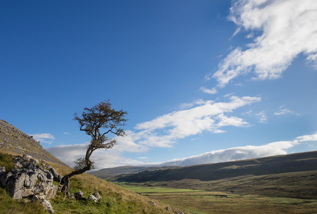 bleak: Windswept tree on a hillside in the Yorkshire Dales.