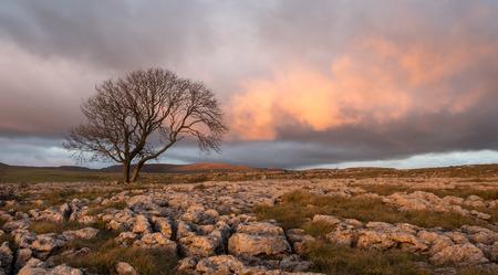 yorkshire dales: �rbol solitario por encima de Malham Cove, Yorkshire Dales