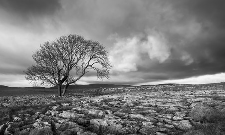 dales: Lone tree above Malham Cove, Yorkshire Dales