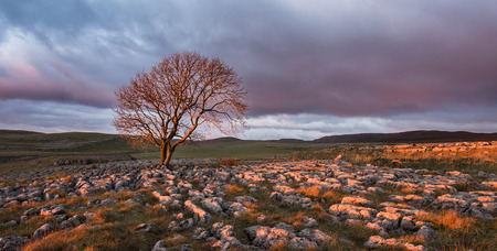 Yorkshire Dales: Lone tree above Malham Cove, Yorkshire Dales