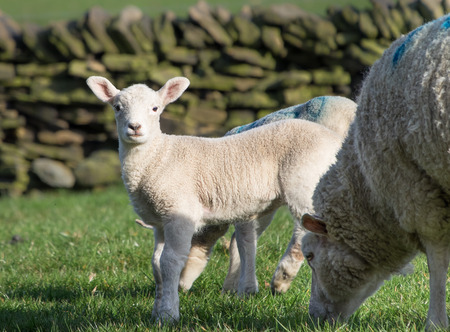 spring lambs: Cute Spring Lambs, Holmfirth, West Yorkshire Stock Photo
