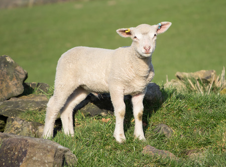 bleating: Cute Spring Lambs, Holmfirth, West Yorkshire Stock Photo