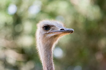 A portrait of a full-grown ostrich on a blurred background