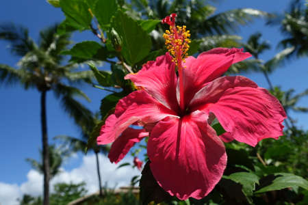 Brazil Morro de Sao Paulo - Huge colerful Red Hibiscus - Hibiscus rosa-sinensis - tropical hibiscus