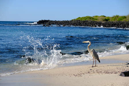 Ecuador Galapagos Islands - San Cristobal Island Great egret strutting along the beach 免版税图像