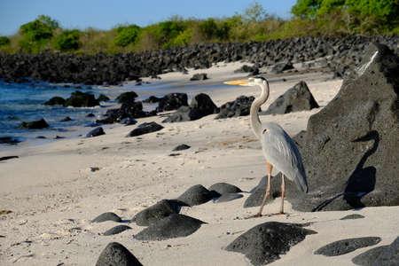 Ecuador Galapagos Islands - San Cristobal Island Great white egret