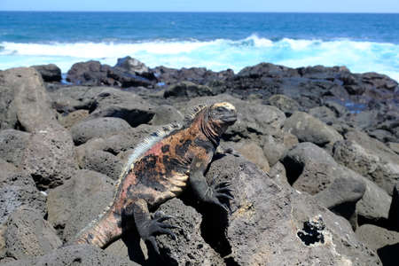 Ecuador Galapagos Islands - San Cristobal Island Colourful Marine iguana sunbathing on rock