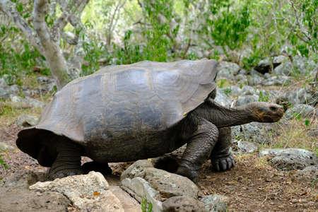 Ecuador Galapagos Islands - San Cristobal Island Giant Galapagos tortoise in Galapaguera de Cerro Colorado