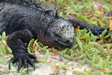 Ecuador Galapagos Islands - Santa Cruz Island Sea iguana sunbathing Galapagos Beach at Tortuga Bay 免版税图像