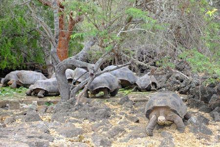 Ecuador Galapagos Islands  - Santa Cruz Island Giant Galapagos tortoise in Charles Darwin Research Station