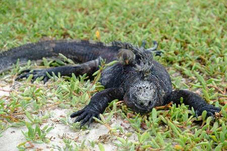 Ecuador Galapagos Islands - Santa Cruz Island Marine iguana sunbathing Galapagos Beach at Tortuga Bay