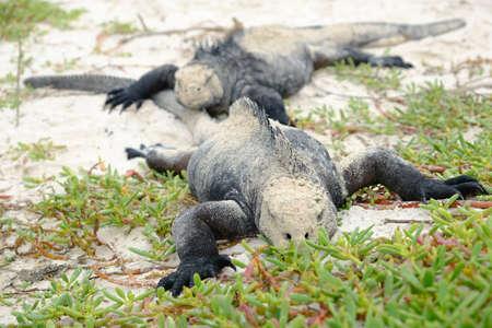 Ecuador Galapagos Islands - Santa Cruz Island Group of Sea iguana sunbathing Galapagos Beach at Tortuga Bay