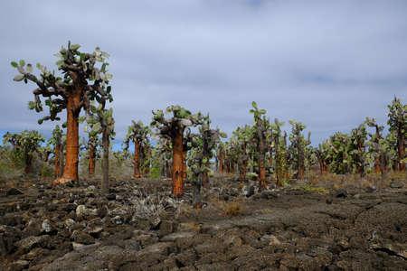 Ecuador Galapagos Islands - Santa Cruz Island Landscape with Cactus trees - Opuntia echios