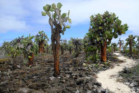 Ecuador Galapagos Islands - Santa Cruz Island Landscape with Galapagos prickly pears - Opuntia echios