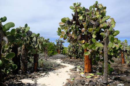 Ecuador Galapagos Islands - Santa Cruz Island Hiking path with Galapagos prickly pears - Opuntia echios