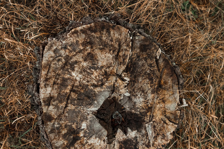 Old, cut down tree, decrepit stump on the background of yellow grass, top view. copy space.