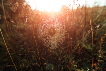 Big cowweb among blades in field in sun light at dawn. Spider's web in summer field in sun rays at dawn. Summer field at dawn. Droplets of dew on grass at dawn. Banco de Imagens
