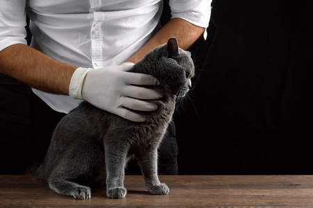 The vet examines the gray cat on the table, the dark background. The concept of a veterinary clinic, doctor, animal is sick, vaccination, sterilization, castration. Banco de Imagens