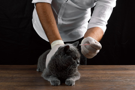 A veterinarian injects a gray cat on the table, a dark background. The concept of a veterinary clinic, doctor, animal is sick, vaccination, sterilization, castration.