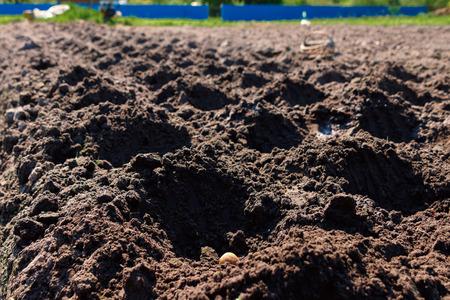 Planting potatoes manually, preparing the soil for planting potatoes, fertilizing the soil. Stok Fotoğraf