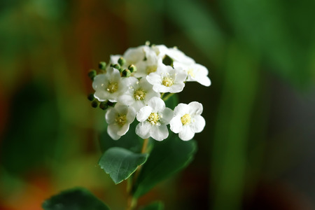 White small flowers close-up, green background, macro photo. 免版税图像