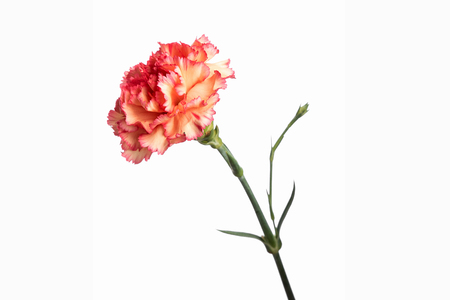 orange carnation on white background, isolate. Close-up. Copy the space