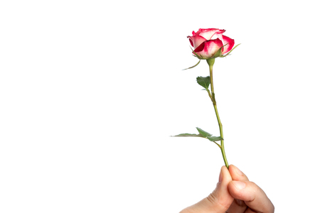 Man's hand with a pink rose, isolated on white background, isolate. Close-up. Copy the stand.