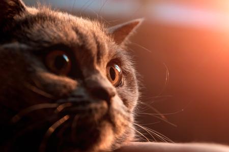 oeil de chat jaune. fermer. Gros plan image d'oeil de chat