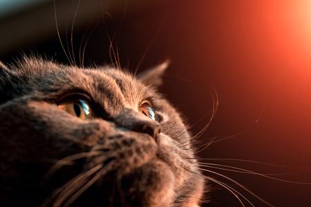 oeil de chat jaune. fermer. Gros plan image d'oeil de chat Banque d'images
