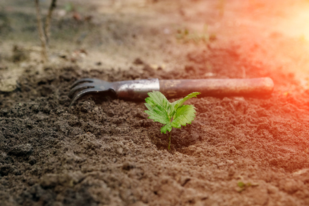 A small green strawberry sprout with a nearby weeding tool, top view, Concept of gardening, gardening. copy space Reklamní fotografie